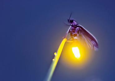 ทำไมหิ่งห้อยถึงมีแสงวิบวับ
