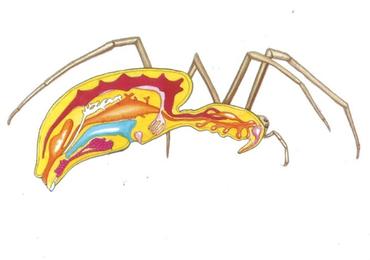 โครงสร้างภายในร่างกายของสัตว์มีกระดูกสันหลังและไม่มีกระดูกสั...