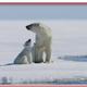 Arctic Tale ชีวิตหมีขาว... กับบ้านที่กำลังละลาย