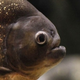 ปลาปิรันยาดำ เป็นปลาที่มีแรงกัดหนักที่สุดในโลก