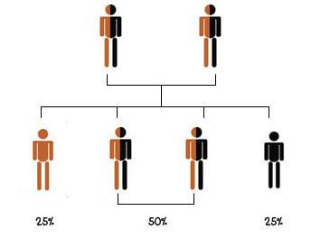 แผนภาพต้นไม้แสดงถ้าพ่อแม่เป็นพาหะของโรคธาลัสซีเมีย โอกาสที่ลูกจะเป็นโรคเท่ากับ 25% และโอกาสที่ลูกจะเป็นพาหะ 50% และโอกาสที่ลูกจะปกติเท่ากับ 25%