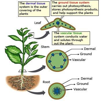 ������������������ plant structure